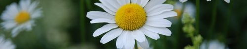 chamomile-3397518_640