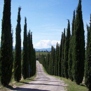 cypress-101428_640