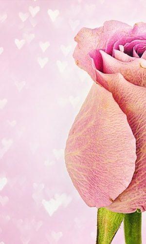 rose-3142527_640
