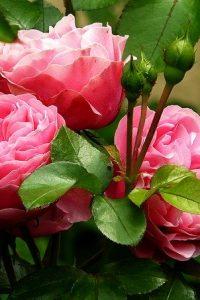 roses-279583_640